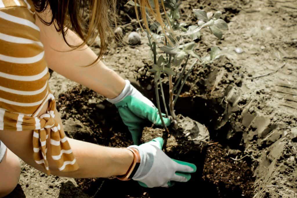 blueberries raspberries soil how to plant