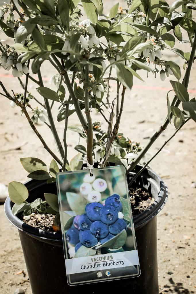 blueberries raspberries health benefits save money