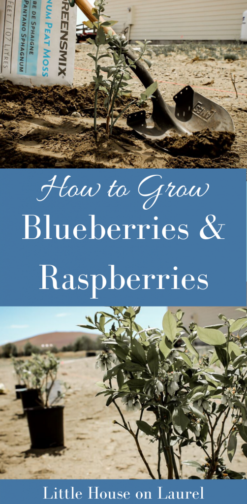 How to Grow Blueberries and Raspberries #gardening #berries #homestead #blueberries #raspberries #farm #diy #plant #healthy #garden #homesteading #homesteader #howto #preserving #canning #freezing #antioxidant